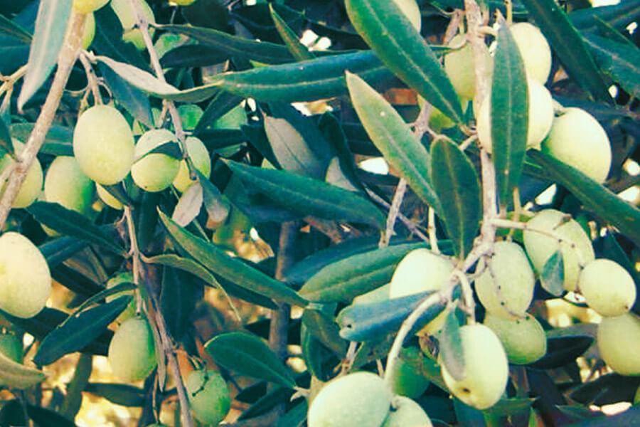 Filippo Pizzo - Olivenöl